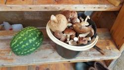 Грибная нынче осень! Которое уж ведро с грибами... Да и арбузы уже созрели, в тепличке.. - увеличить