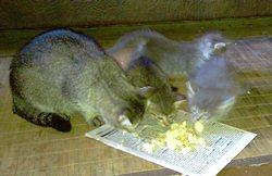 Совместный кошачий обед - увеличить