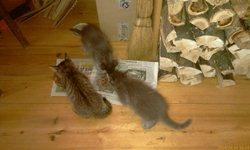 Котята на веранде - обед
