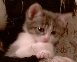 Серенький, первенец, умный котёнок, он и предлагается нынче - увеличить