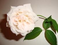 Роза праздничная!