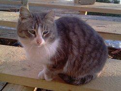 Кошка старожилка, одноглазая, несколько зим на дачах, одна! - увеличить