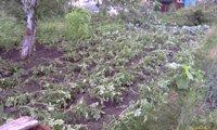 От сильного ливня полегла картошка! - увеличить