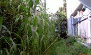Свой огородик с пятиметровой кукурузой - увеличить