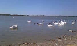 Чистое озеро и очень красивые лебеди - увеличить